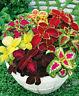 100pcs Coleus Mixed Seeds Balcony Flower Plants Bonsai Potted Garden Home Decor