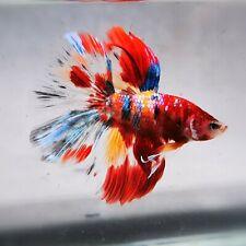 Live Betta Fish - Male - Koi Candy Sparkle Red Halfmoon (AMMAUG58) (High-Grade)