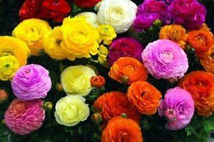 50 Ranunculus Mixed Colour Persian Buttercup Fragrant Perennial Garden Bulbs