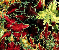 COLEUS CAREFREE MIX Solenostemon Scutellarioides - 50 Bulk Seeds