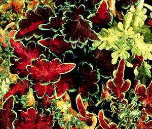COLEUS CAREFREE MIX Solenostemon Scutellarioides - 50 Bulk Seeds