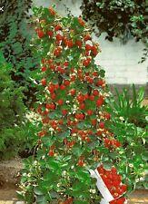 10 di alta qualità ROSSO FRAGOLA RAMPICANTE semi, giardino pianta da frutto, deliziosi