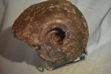 grande ammonite Quenstedtocera praelanberti var Ordinarium ('M) callovien