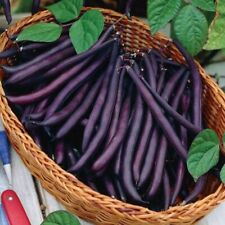Seeds Giant Beans Parpl Tippy Bush Organic Heirloom Russian Ukraine