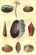 MOLLUSCS. nutlet; Térébelle; Solenelle, screw spike, floater, Volute 1873