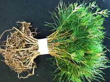 45 Blueridge Smokey Mountain Grown Eastern WhitePine starter evergreen seedlings
