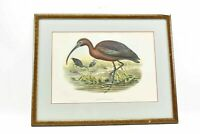 original antique John Gould Fallcinellus Igneus color bird Lithograph print