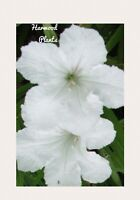 """White Mexican Petunias (4) live plant 12++"""" Tall Large Mature Plants Organic"""
