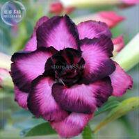 Purple Edged Black Petals Desert Rose Garden Balcony Potted Bonsai Seeds Summer