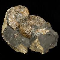 Montana Ammonite Fossil Natural Cluster Hoploscaphites nodosus Heteromorph