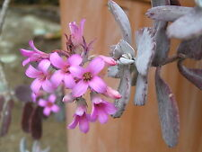 Succulent Kalanchoe pumila, Silver Mist, 3 Mature cuttings w. roots.