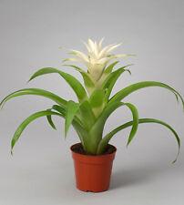 "White Guzmania Lingulata 'Deseo White"" Bromeliad Star Young Plant Pup 12cm"