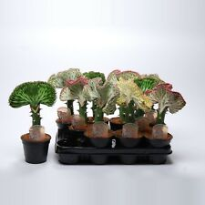 Euphorbia kakteen sukkulenten g nstig kaufen ebay - Wolfsmilch zimmerpflanze ...