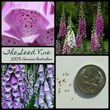 100+ PURPLE FOXGLOVE SEEDS (Digitalis purpurea) Beautiful Flower Bees Garden