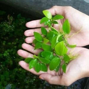 Anubias Nana Golden Rhizome B2G1 Easy Live Aquarium Plant Loose Barteri Betta