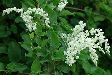 Russian Vine - Fallopia baldschuanica in 9cm pot mile a minute