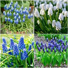 "Muscari Bulbs ""Grape Hyacinth"" Top Quality Spring Flowering Bulbs Perennials"