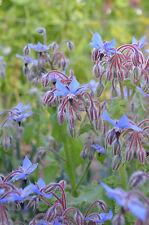 8300mg Organic Borage ~400 Seeds ~ Herbal Edible Blossoms Companion Oil Plant
