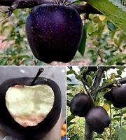 30 Black Diamond Apple Seeds Heirloom Exotic Garden Fruit Rare Unusual Plant
