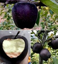 30 Black Diamond Apple Seeds Heirloom Exotic Garden Fruit Rare Unusual Plant