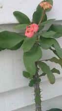 "Euphorbia Milii (Crown of Thorns) - 2 Cuttings - 8"" Long - Big Trunk"