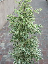 Indoor Plant - Ficus Benjamina - Variegated Weeping Fig 1M Tall