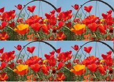 1 Oz. RED California Poppy Seeds~Approx 16000 seed~Wholesale flowers