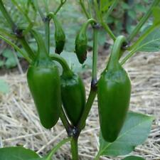 Pepper - Jalapeno Early Vegetable Seeds Heirloom select QTY hot pepper