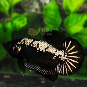 Live Betta Fish Black Samurai HMPK by SINGGAHAN BETTA FARM!