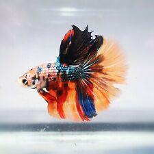 Live Betta Fish - Male - Koi Red Wine Candy HalfMoon Betta(ASEP105)