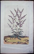 "Abraham Munting: ""Lapathum Vulgare Minus"" 1727"