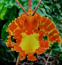 Psychopsis `Liberty Perfect Flame´ NEW blühstarke Pflanze Orchidee Orchideen