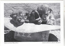 """Mexican Gray Wolf Pups"" -1965 @ *Arizona-Sonora Desert Museum (#151) {Postcard}"