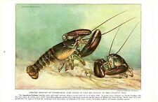 Vintage Scarce Hashime Murayama Fish Print ~ American Lobster ~