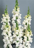 Snapdragon Seeds, Snowflake, White Snapdragons, Non-Gmo Heirloom, 100ct