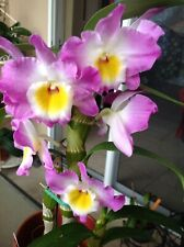 OrchidDendrobium nobile Angel Moon Love Letter 8, thick cane, new growth