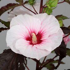 HIBISCUS MOSCHEUTOS 'CAROUSEL JOLLY HEART' - STARTER  PLANT