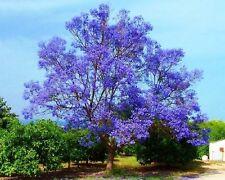 Jacaranda Tree - JACARANDA MIMOSIFOLIA - 20 Seeds Flower Tree