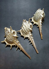 three Murex trapa, from Taiwan