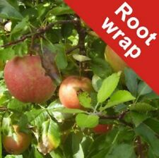 Apple Dessert Tree Plant Falstaff Root Wrap Fruiting Edible Bare Root