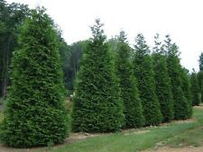 Green Giant Arborvitae 25 trees-Thuja plicata 3 inch pot