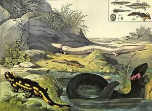 1878 SALAMANDER NEWT OLM GREATER SIREN WATER LIZARD Antique FOLIO Print Schubert