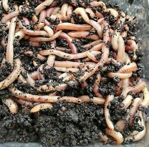 Dendrobena/Rotwürmer Groß 150-200 st.=250 g inkl. Kostenlos Versand & Erde