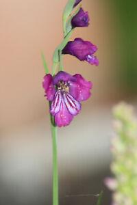 Gladiolus palustris, Sumpf-Siegwurz, 10 Samen, für Sumpfbeet, sehr dunkler Klon