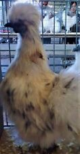 6 QUALITY WHITE PAINT SILKIE  BANTAM HATCHING EGGS (believed fertile)