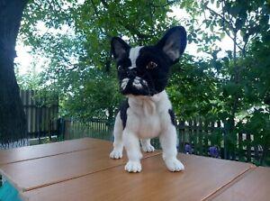 Needle-felted-wool-handmade-OOAK-French bulldog puppy