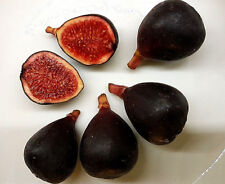 """FEIGE """""""" schwarze Zucker Baby - Feige, Ficus carica, sehr süß klein Mini black"""