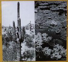 Cactus in Desert, Lily Pads in Marsh, circa 1930's, Magic Lantern Glass Slide