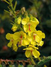 10 seeds LEGUMINOSAE Caesalpinia mimosoides Lamk Traditional herbs
