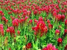 3 LB Crimson Red Clover Clover Seeds Food Plot Cover Crop  Pasture Hay